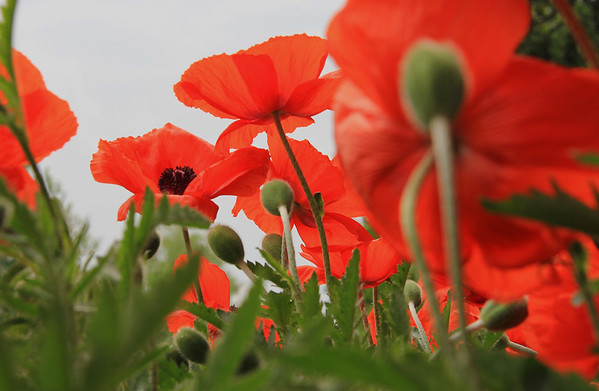 The poppies are poppin' at my house this week.<br /> <br /> Photographer's Name: Jerry Byard<br /> Photographer's City and State: Anderson, Ind.