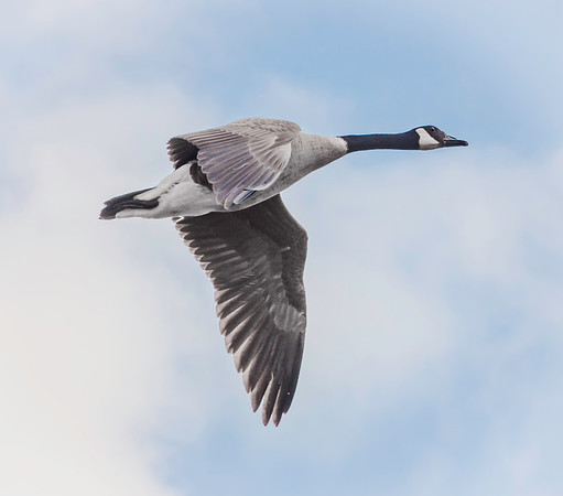 A goose flying above our heads at the Alexandria-Liberty Christian track meet.<br /> <br /> Photographer's Name: Terry Lynn Ayers<br /> Photographer's City and State: Anderson, Ind.