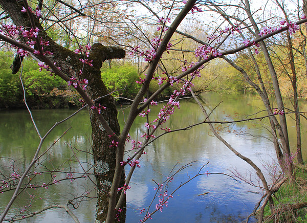 Red buds add nice color along the river at Mounds Park.<br /> <br /> Photographer's Name: Jerry Byard<br /> Photographer's City and State: Anderson, Ind.