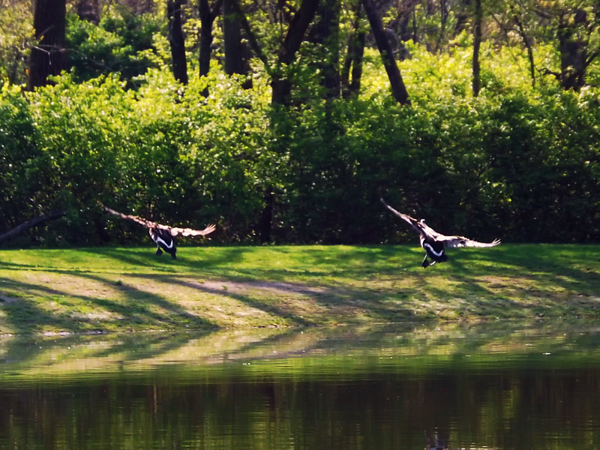 """""""The Dance:"""" A perfect landing at Killbuck Creek.<br /> <br /> Photographer's Name: J.R. Rosencrans<br /> Photographer's City and State: Alexandria, Ind."""