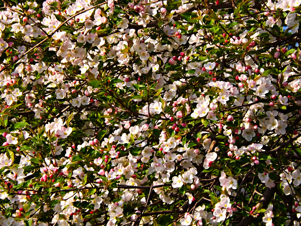 Crabapple beauty. Taken at my farm in Richland Township.<br /> <br /> Photographer's Name: J.R. Rosencrans<br /> Photographer's City and State: Alexandria, Ind.