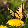 A yellow swallowtail butterfly at Mounds Park was moving between the dandelions.<br /> <br /> Photographer's Name: Jerry Byard<br /> Photographer's City and State: Anderson, Ind.