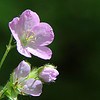 This is a wild geranium flower at Mounds Park.<br /> <br /> Photographer's Name: Jerry Byard<br /> Photographer's City and State: Anderson, Ind.