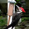 A pileated woodpecker.<br /> <br /> Photographer's Name: Dan Bock<br /> Photographer's City and State: Anderson, Ind.