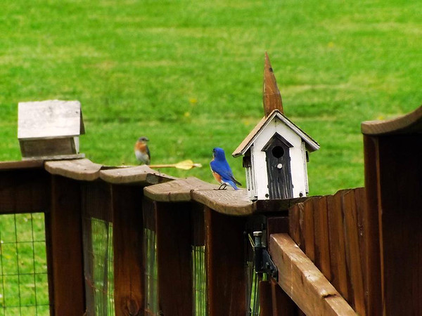 See you in church: Bluebirds in Richland Township.<br /> <br /> Photographer's Name: J.R.  Rosencrans<br /> Photographer's City and State: Alexandria, Ind.