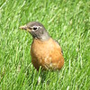 Robin in the grass.<br /> <br /> Photographer's Name: Harry Van Noy<br /> Photographer's City and State: Lafayette Township, Ind.
