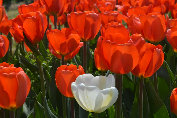 Gorgeous tulips in Holland, Mich.<br /> <br /> Photographer's Name: Janet  Neese-Hoffman<br /> Photographer's City and State: Frankton, Ind.