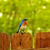 A bluebird in Richland Township.<br /> <br /> Photographer's Name: J.R. Rosencrans<br /> Photographer's City and State: Alexandria, Ind.