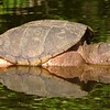 """""""Old Moses,"""" the farm pond turtle.<br /> <br /> Photographer's Name: J.R. Rosencrans<br /> Photographer's City and State: Alexandria, Ind."""