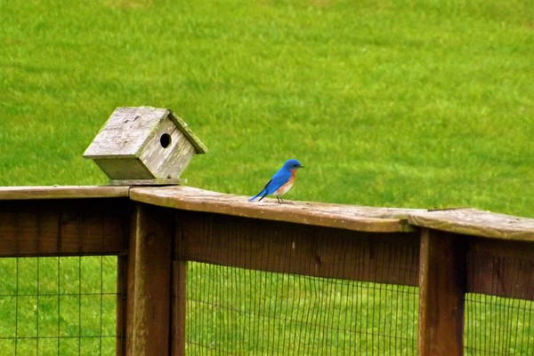 Madison County bluebirds in Richland Township.<br /> <br /> Photographer's Name: J.R. Rosencrans<br /> Photographer's City and State: Alexandria, Ind.