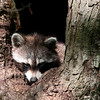 A snoozing raccoon in a tree at Mounds Park.<br /> <br /> Photographer's Name: Jerry Byard<br /> Photographer's City and State: Anderson, Ind.
