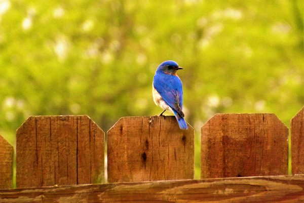 Bluebird singing at my farm in Richland Township.<br /> <br /> Photographer's Name: J.R. Rosencrans<br /> Photographer's City and State: Alexandria, Ind.