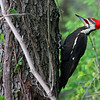 A large pileated woodpecker at Mounds Park was 'working' on this tree.<br /> <br /> Photographer's Name: Jerry Byard<br /> Photographer's City and State: Anderson, Ind.