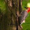 A red-bellied woodpecker at Mound Park searching for bugs.<br /> <br /> Photographer's Name: Jerry Byard<br /> Photographer's City and State: Anderson, Ind.
