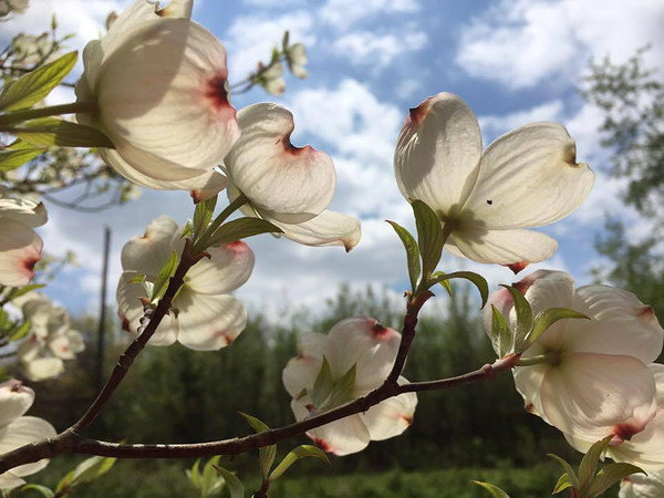 Gorgeous tree blooms and blue skies near Reelsville, Ind.<br /> <br /> Photographer's Name: Janet  Neese-Hoffman<br /> Photographer's City and State: Frankton, Ind.