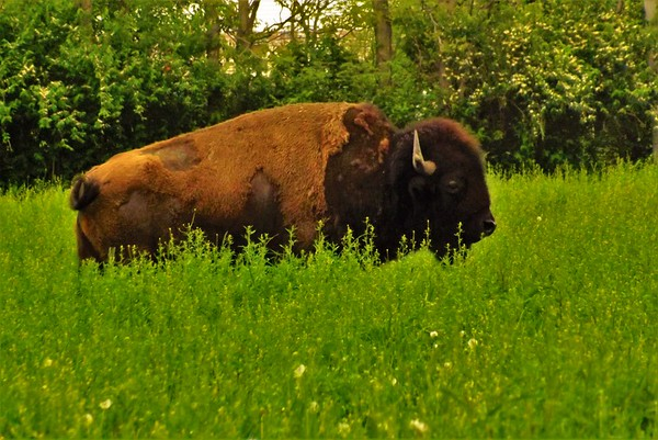 Richland Township buffalo.<br /> <br /> Photographer's Name: J.R. Rosencrans<br /> Photographer's City and State: Alexandria, Ind.