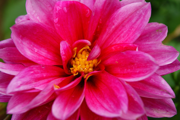 Dahlia after rain.<br /> <br /> Photographer's Name: Morgan Elbert<br /> Photographer's City and State: Alexandria, Ind.