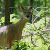 A curious deer at Mounds Park watching me.<br /> <br /> Photographer's Name: Jerry Byard<br /> Photographer's City and State: Anderson, Ind.