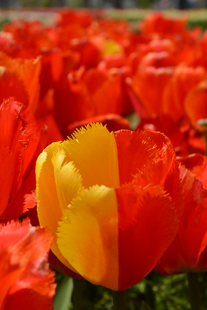 Tulips in Holland, Mich.<br /> <br /> Photographer's Name: Janet  Neese-Hoffman<br /> Photographer's City and State: Frankton, Ind.