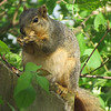 Shadyside squirrrel.<br /> <br /> Photographer's Name: Harry Van Noy<br /> Photographer's City and State: Lafayette Twp., Ind.