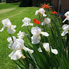 White Iris along side my house.<br /> <br /> Photographer's Name: Jerry Byard<br /> Photographer's City and State: Anderson, Ind.