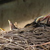 Baby robins waiting for lunch to be delivered.<br /> <br /> Photographer's Name: Harry Van Noy<br /> Photographer's City and State: Lafayette Township, Ind.