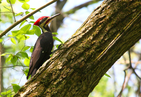 A pileated woodpecker at Mounds Park looking for food.<br /> <br /> Photographer's Name: Jerry Byard<br /> Photographer's City and State: Anderson, Ind.