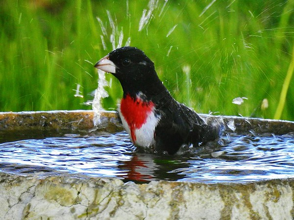 A rose-breasted grosbeak needing a bath.<br /> <br /> Photographer's Name: Sharon Markle<br /> Photographer's City and State: Markleville, Ind.