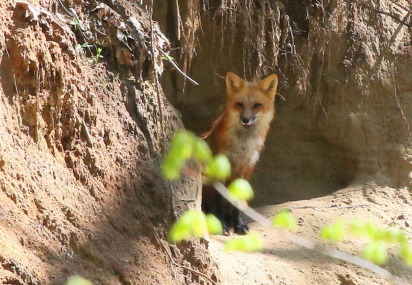 A fox is sitting by its den watching over the kits in Madison County.<br /> <br /> Photographer's Name: Jerry Byard<br /> Photographer's City and State: Anderson, Ind.