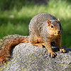 A squirrel with a nut it its mouth at Mounds Park.<br /> <br /> Photographer's Name: Jerry Byard<br /> Photographer's City and State: Anderson, Ind.