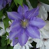 Spring clematis.<br /> <br /> Photographer's Name: H.A. Pease<br /> Photographer's City and State: Anderson, Ind.