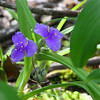 Spiderwort wildflower on the forest floor at Mounds Park.<br /> <br /> Photographer's Name: Jerry Byard<br /> Photographer's City and State: Anderson, Ind.