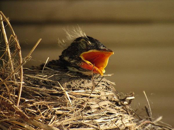 Baby Robin, waiting for mommy to bring lunch.<br /> <br /> Photographer's Name: Harry Van Noy<br /> Photographer's City and State: Lafayette Township, Ind.