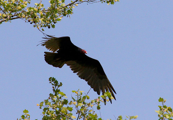 A turkey vulture at Mounds Park in flight.<br /> <br /> Photographer's Name: Jerry Byard<br /> Photographer's City and State: Anderson, Ind.