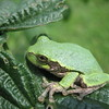 Tree frog.<br /> <br /> Photographer's Name: Rex Rice<br /> Photographer's City and State: Middletown, Ind.