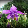 Purple columbine growing in my jungle.<br /> <br /> Photographer's Name: Debra Howell<br /> Photographer's City and State: Pendleton, Ind.