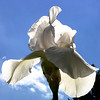A backlit white iris with a lovely blue sky.<br /> <br /> Photographer's Name: Jerry Byard<br /> Photographer's City and State: Anderson, Ind.