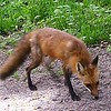 Mother fox cruising for food for her cubs on our property on White River. <br /> <br /> Photographer's Name: Dr. Charles Shumate<br /> Photographer's City and State: Anderson, Ind.