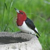 A red-headed woodpecker visiting from the woods for a little drink.<br /> <br /> Photographer's Name: Sharon Markle<br /> Photographer's City and State: Markleville, Ind.