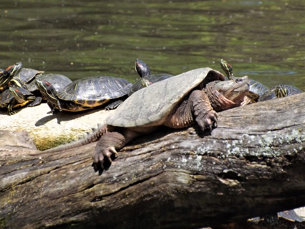 If snapping turtles were lifeguards, nobody would swim on the lake.<br /> <br /> Photographer's Name: J.R. Rosencrans<br /> Photographer's City and State: Alexandria, Ind.