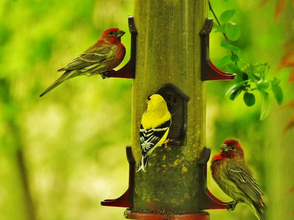 House finches and goldfinch sharing a meal<br /> <br /> Photographer's Name: Sharon Markle<br /> Photographer's City and State: Markleville, Ind.
