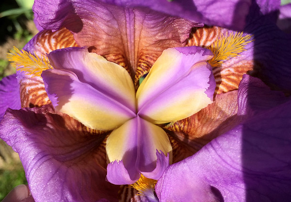 A close up look at a lavender iris insides.<br /> <br /> Photographer's Name: Jerry Byard<br /> Photographer's City and State: Anderson, Ind.