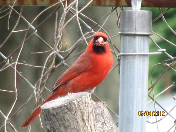 A cardinal gets his worm<br /> <br /> Photographer's Name: JoAnna Mullins<br /> Photographer's City and State: Anderson, IN
