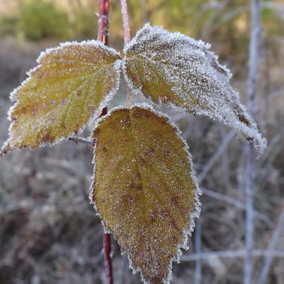 A frosty blackberry leaf at my farm in Richland Township.<br /> <br /> Photographer's Name: J.R. Rosencrans<br /> Photographer's City and State: Alexandria, Ind.