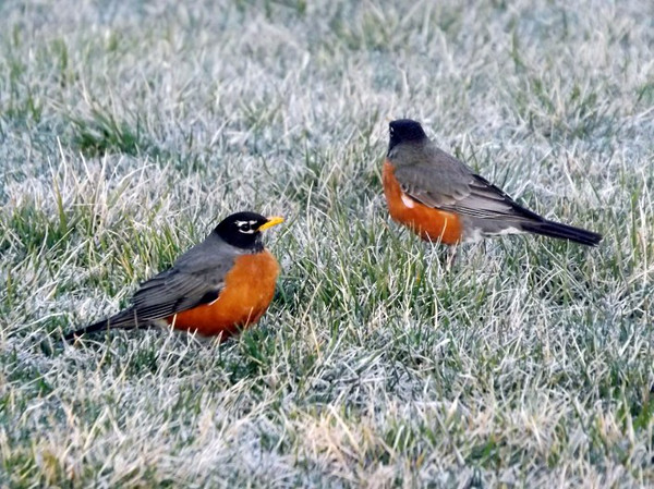 Robins heading south...frosty farm  shots from my farm in Richland Township.<br /> <br /> Photographer's Name: J.R. Rosencrans<br /> Photographer's City and State: Alexandria, Ind.
