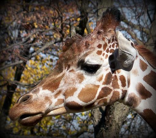 A giraffe at the Indianapolis Zoo enjoying a beautiful fall day.<br /> <br /> Photographer's Name: Debra Howell<br /> Photographer's City and State: Pendleton, Ind.