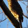 Hawk in my backyard.<br /> <br /> Photographer's Name: Amanda Gloff<br /> Photographer's City and State: Anderson, Ind.