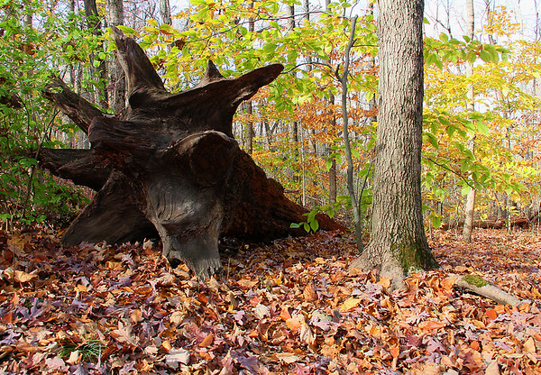 Another one of the interesting old downed trees at Mounds Park.<br /> <br /> Photographer's Name: Jerry Byard<br /> Photographer's City and State: Anderson, Ind.