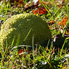 A hedge apple close up look at Mounds Park.<br /> <br /> Photographer's Name: Jerry Byard<br /> Photographer's City and State: Anderson, Ind.