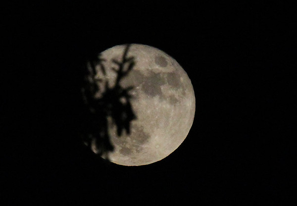 A clear super moon on Monday evening through a pine tree.<br /> <br /> Photographer's Name: Jerry Byard<br /> Photographer's City and State: Anderson, Ind.